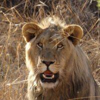 lions-whelp-4535372_1920