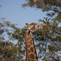 Botswana2015 - Botswana2015_122.jpg