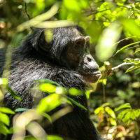 Szympanse_Story - Szympanse_story_2.jpg