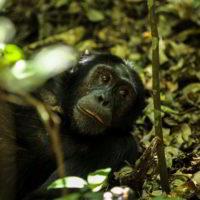 Szympanse_Story - Szympanse_story_3.jpg