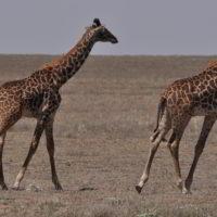 Zyrafy - zyrafy_w_afryce_11.jpg