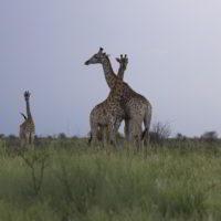 Zyrafy - zyrafy_w_afryce_31.jpg