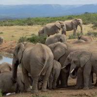 addo-elephant - addo_elephant_25.jpg