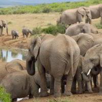 addo-elephant - addo_elephant_26.jpg