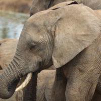 addo-elephant - addo_elephant_27.jpg