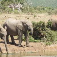 addo-elephant - addo_elephant_32.jpg