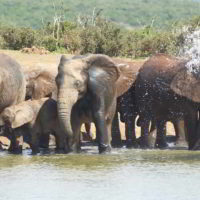 addo-elephant - addo_elephant_33.jpg