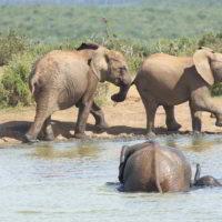 addo-elephant - addo_elephant_34.jpg